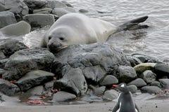 Уплотнение слона и пингвин Gentoo, Антарктика Стоковая Фотография RF