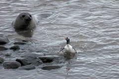 Уплотнение слона и пингвин Gentoo, Антарктика Стоковая Фотография