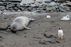 Уплотнение слона и пингвин Gentoo, Антарктика Стоковые Изображения RF