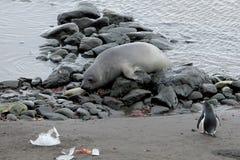 Уплотнение слона и пингвин Gentoo, Антарктика Стоковое Фото