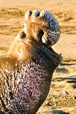 уплотнение слона северное Стоковое фото RF