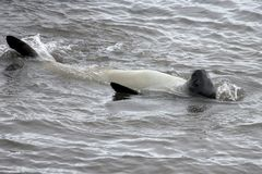 Уплотнение слона, Mirounga Leonina, Антарктика Стоковое Изображение RF