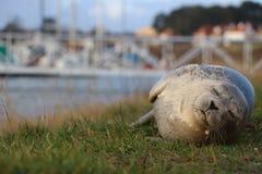 Уплотнение спать на траве стоковая фотография