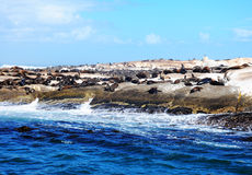 Уплотнение шерсти плащи-накидк на заливе Hout Стоковая Фотография RF