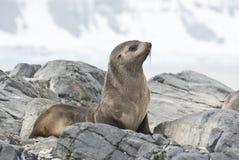 Уплотнение шерсти сидя на Антарктике острова утеса. Стоковое фото RF
