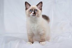 уплотнение ragdoll пункта котенка стоя вверх стоковые изображения rf