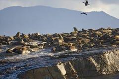 Уплотнения грея на солнце на побережье в Кейптауне Стоковое Фото