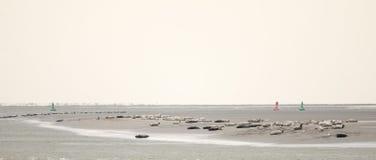 Уплотнения на песке, Pointe du Hourdel, Пикардии, Франции стоковое фото rf