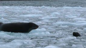 Уплотнения плавают среди частей льда в мелководье Andreev акции видеоматериалы