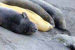 Уплотнения слона, Mirounga Leonina, Антарктика Стоковое фото RF