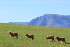 Упорно добиваться овец гористый стоковые фото