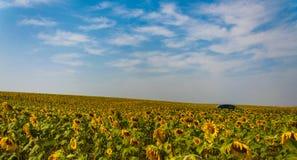 Управлять автомобиля через поля солнцецвета Стоковая Фотография