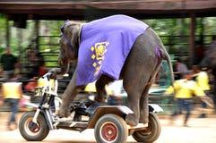 управлять слоном Стоковое Фото