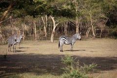 Упрощает зебру в кусте Стоковая Фотография RF