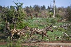 Упрощает зебру в национальном парке Kruger, Южной Африке Стоковая Фотография RF