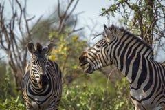 Упрощает зебру в национальном парке Kruger, Южной Африке Стоковое фото RF