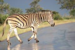 Упрощает зебру идя на влажную дорогу Стоковые Фото