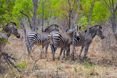 Упрощает зебру, кваггу Equus, Зимбабве Стоковое Изображение RF
