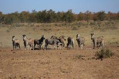 Упрощает зебру на выпивая отверстии Стоковая Фотография RF