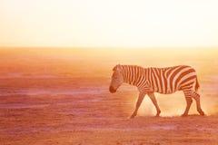 Упрощает зебру pasturing на национальном парке Amboseli Стоковые Изображения RF