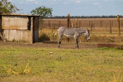 Упрощает кваггу Equus зебры Стоковое Изображение