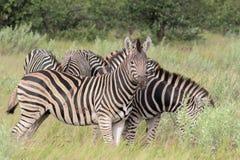 Упрощает кваггу Equus зебры Стоковые Изображения