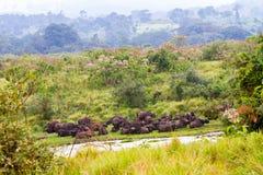 Упрямство буйвола накидки в зоне консервации Ngorongoro Стоковое Изображение RF