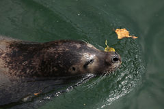 Уплотнение гавани (vitulina настоящего тюленя), также известное как общее уплотнение Стоковая Фотография RF