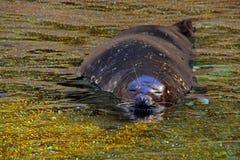 Уплотнение Калифорнии или морсой лев Стоковое Изображение RF