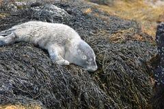 Уплотнение младенца на утесах наслоенных в морскую водоросль в Мейне Стоковое Изображение