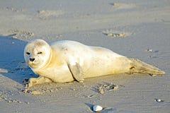 Уплотнение младенца серое (grypus Halichoerus) на пляже Стоковая Фотография RF