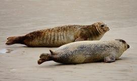 Уплотнение на пляже Стоковые Фото