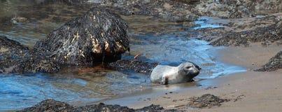 Уплотнение слона молодого младенца северное на колонии уплотнения слона Piedras Blancas на побережье централи Калифорнии Стоковое фото RF