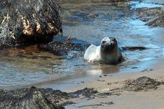 Уплотнение слона молодого младенца северное на колонии уплотнения слона Piedras Blancas на побережье централи Калифорнии Стоковые Изображения