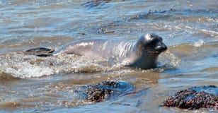 Уплотнение слона младенца северное на колонии уплотнения слона Piedras Blancas на центральном побережье Калифорнии Стоковые Фотографии RF