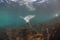 Уплотнение Larga largha настоящего тюленя, запятнанное уплотнение Стоковая Фотография