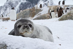 Уплотнение Weddell которое рассматривает вне снежное Стоковое Фото