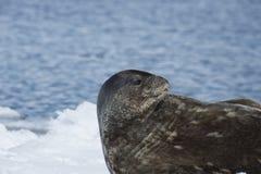 Уплотнение Weddell кладя на лед Стоковое Фото