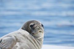 Уплотнение Weddell кладя на лед Стоковые Фото
