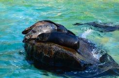 Уплотнения в бассейне в зоопарке Берлина Стоковые Фото