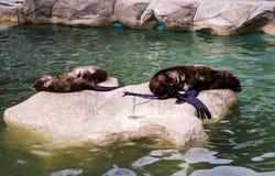 2 уплотнения в зоопарке Стоковые Изображения