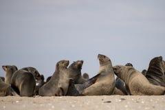 Уплотнения на пляже Стоковое Изображение
