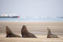 3 уплотнения на пляже Стоковые Изображения
