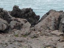 Уплотнения Новой Зеландии Стоковая Фотография