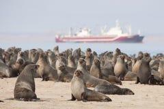 Уплотнения пунктом пеликана в заливе Walvis Стоковая Фотография RF