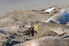 Уплотнения слона матери и щенка Стоковые Фотографии RF