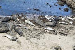 Уплотнения слона на песке приставают к берегу, большое Sur, Калифорния Стоковые Изображения