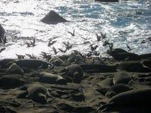 Уплотнения слона на пляже с чайками Стоковое Изображение RF