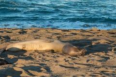Уплотнения слона на пляже Стоковые Фотографии RF