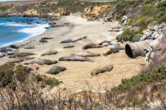 Уплотнения слона на пляже, San Simeon, Калифорнии Стоковое Изображение